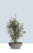 Eternit_bonsai_grau_3