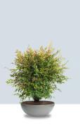 Eternit_bonsai_grau_4